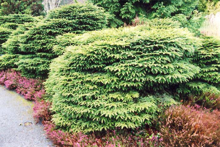 карликовые хвойники ель Nidiformis