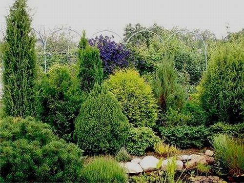 карликовые хвойные растения для сада многолетние