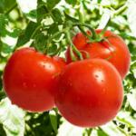 Рассада помидор: когда сажать и как вырастить рассаду томатов.