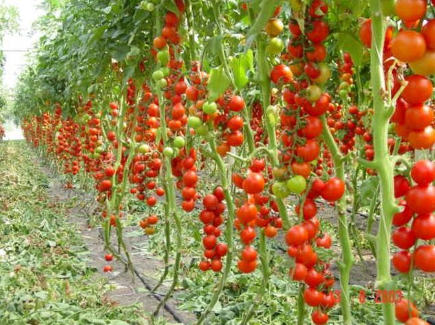 рассада помидоров вырастить